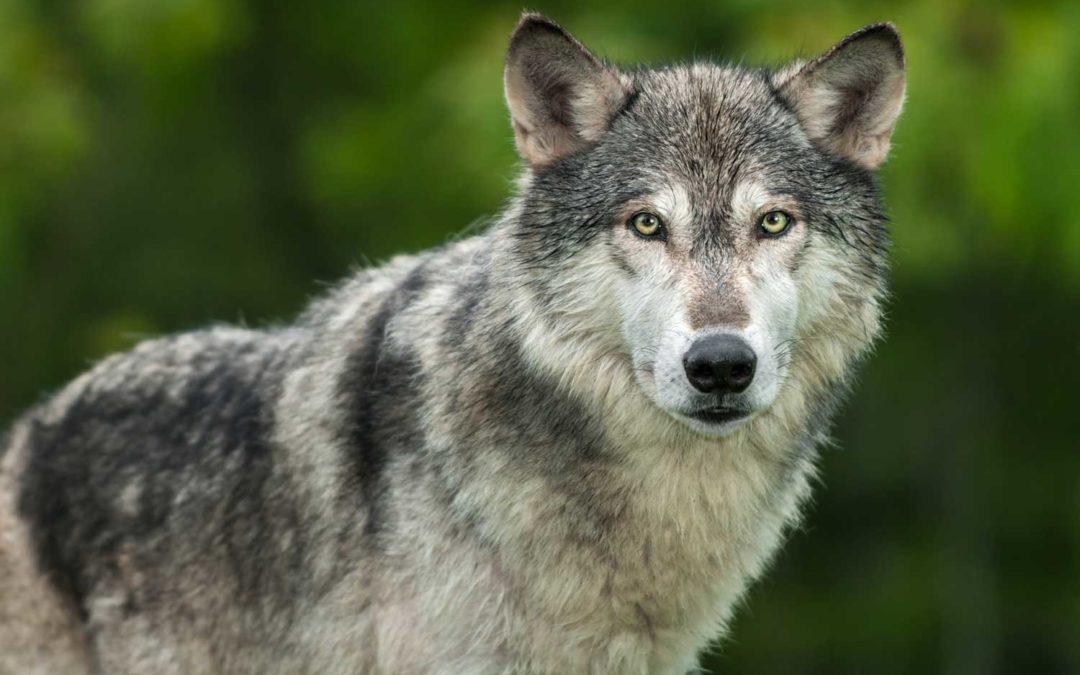 Der Wolf und die Wachstumsstrategien